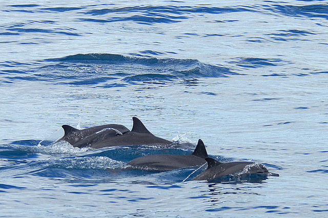 Dolphins by Taro Taylor